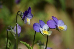 fleurs de pensée sauvage