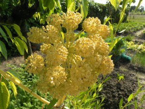 Helichrysum stoechas dans un jardin