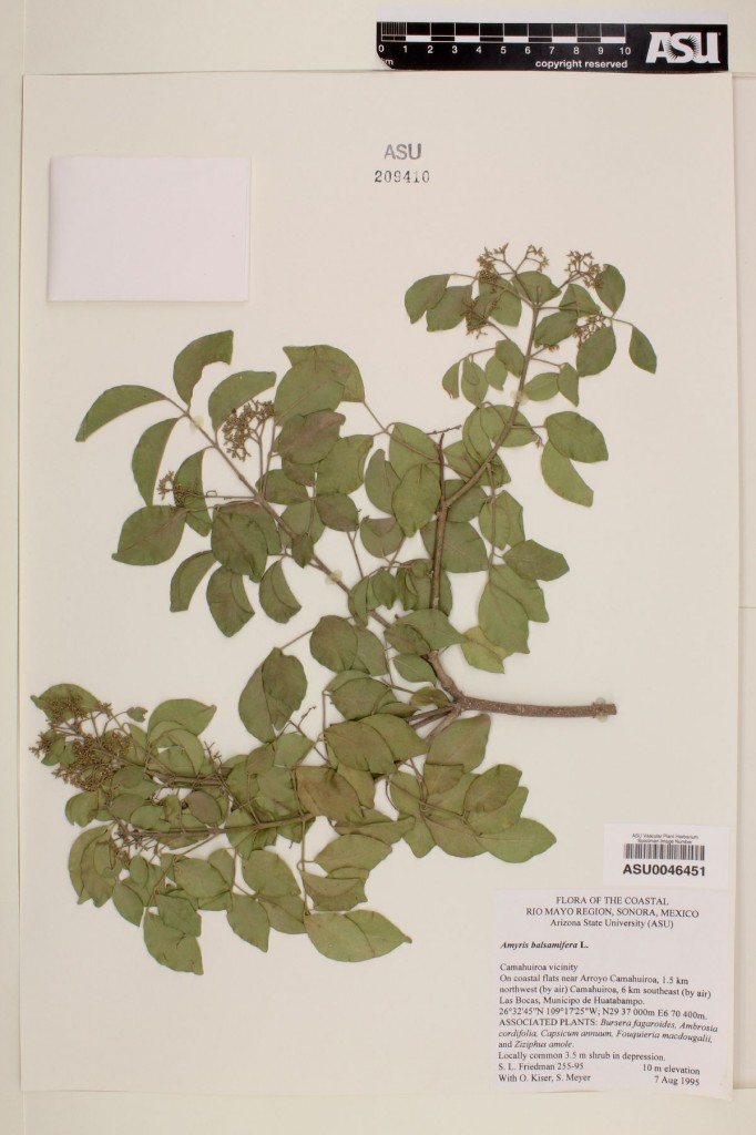 Amyris balsamifera