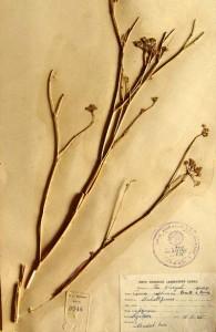 Trachyspermum ammi