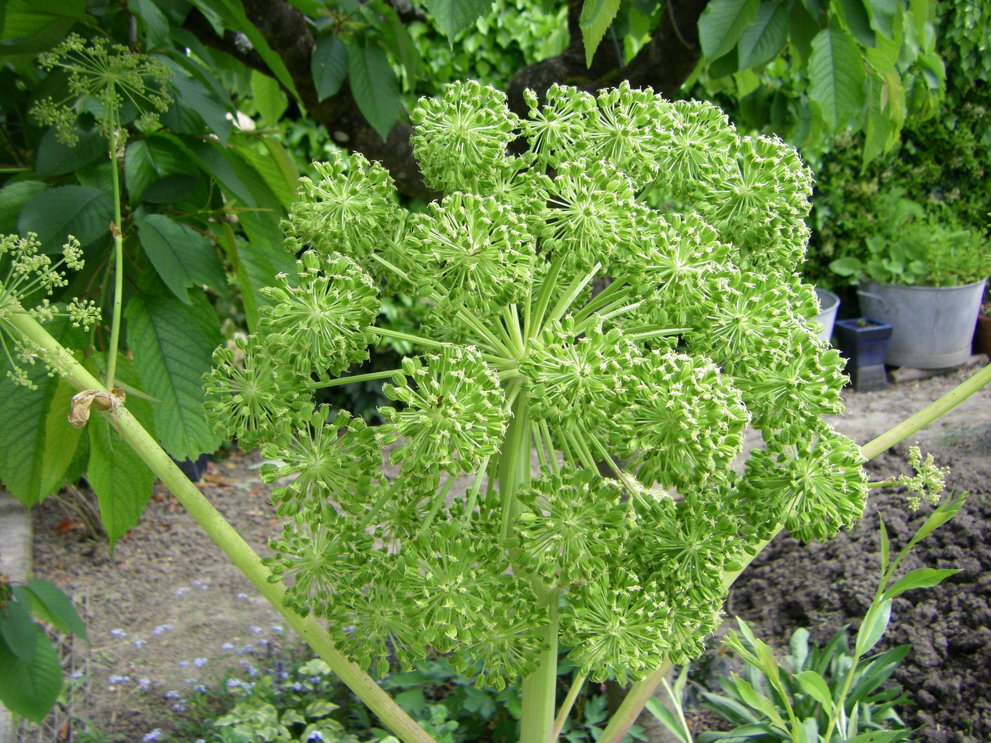 Plantes et usages m dicinaux page 2 for Plante angelique