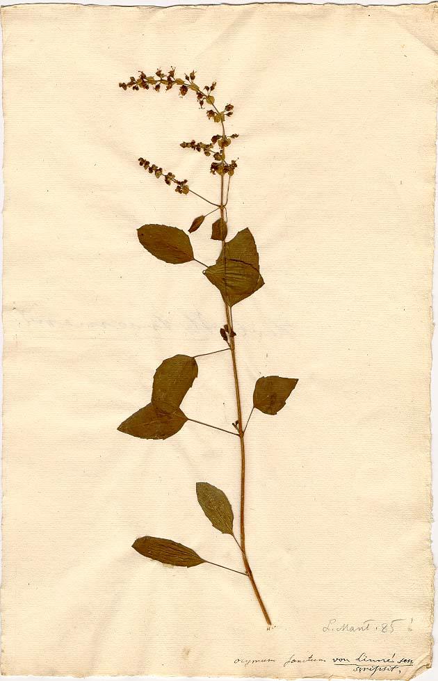 Planche de l'herbier de Linnée