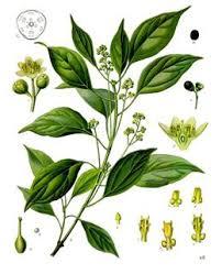 Cinnamomum camphora, le camphrier, bois de Hô ou ravintsara