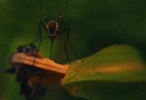 moustiques sur plantes
