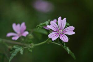la plante la mauve sylvestre