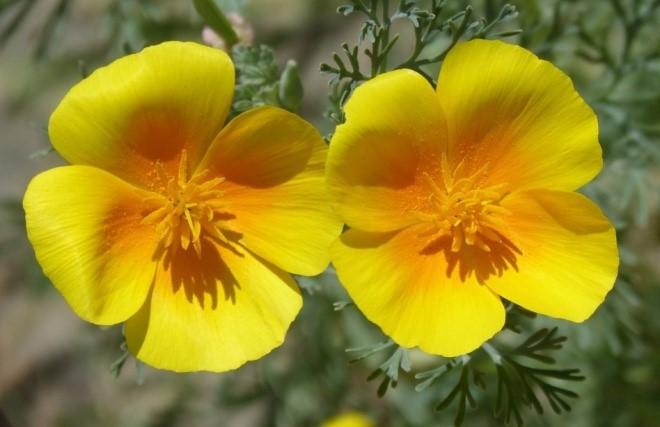 L'Eschscholtzia en fleur