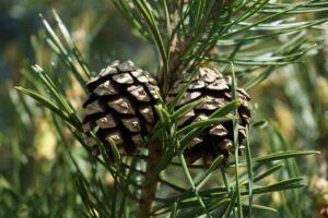 plante le pin sylvestre
