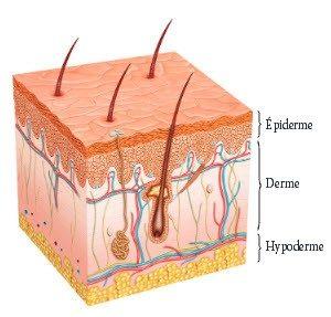 schéma de la peau