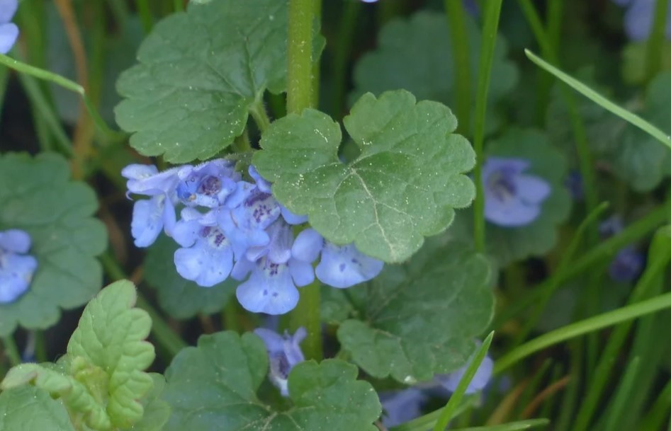 Photo de fleur Lierre Terrestre