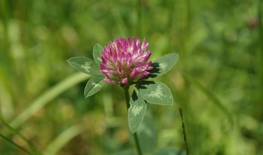Photo de la plante Trèfle de Près en fleur