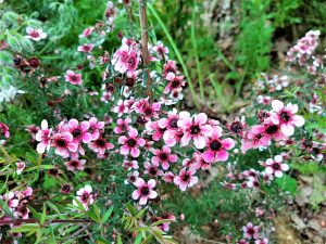 fleurs de manuka